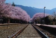 韓国慶州の桜 - 信仙のブログ
