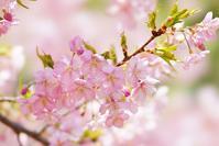 大仙公園の河津桜とメジロ@2018-03-11 - (新)トラちゃん&ちー・明日葉 観察日記