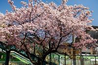 桜咲く京都2018桃山駅の寒桜 - 花景色-K.W.C. PhotoBlog