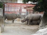 金沢動物園のクロサイ・ロン 2018.03.15 - ごきげんよう 犀たち