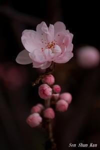 花桃が咲き始めました2018年3月16日 - LLC徒然