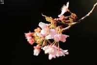 河津桜にミツバチ ちょっとシジュウカラ - 野鳥公園