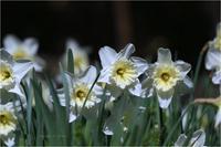 ラッパスイセン・鳥はエナガちゃん。 - Season of petal