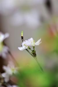 今年の桜 - 日々安閑として