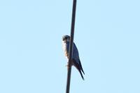 コチョウゲンボウ 03月17日 - 旧サンヨン野鳥撮影放浪記