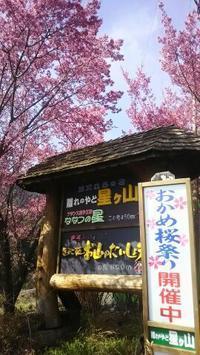 桜 咲く咲く 一足早く 小田原は春満開! - パームツリー越しにgood morning        アロマであなたの今に寄り添うブログ