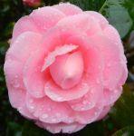桜の予感 - うまこの天袋