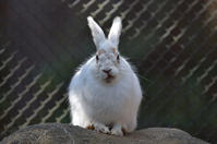 春の訪れを動物園の野ウサギで知る - 動物園へ行こう