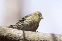 黄色い鳥さん♪ - happy-cafe*vol.2