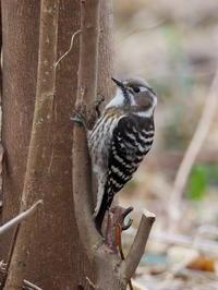 コゲラが近くに - コーヒー党の野鳥と自然 パート2