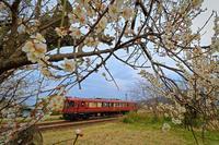 梅の花が見頃です - 今日も丹後鉄道