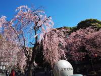 上野公園でお花見 - 藍。の着物であるこう