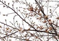 桜巡り - 日々綴り