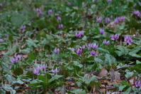 カタクリの咲く山里へ - 季節の風を追いかけて