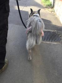 開花! - 琉球犬mix白トゥラーのピカ