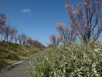 桜が咲いた日<狭山池> - Wakaba photos