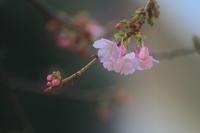 さくら咲く - kzking1963 Digital Photo Diary