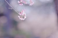 春色と遠いカモ - 八分目とり日記