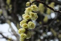 ■キブシ・雌雄異株の花18.3.18 - 舞岡公園の自然2