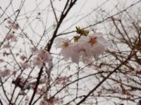 豆桜が開花 - 白壁荘だより  天城百話