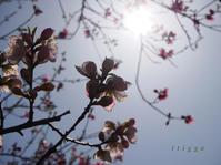 堤防の桃・2 - Photo*Today & Then