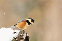 ヤマガラ - 北の野鳥たち