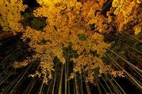 京都の紅葉2017 北野天満宮ライトアップ - 花景色-K.W.C. PhotoBlog