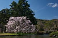 続・定番のしだれ桜 - Change The World