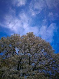 ☆ ご近所桜情景 ☆ - ON ANY SUNDAY 2.............