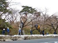 「弘前公園さくら情報」の提供開始と剪定風景 - 弘前感交劇場