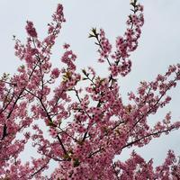 岡崎の葵桜は満開でした🌸 - ジェンマとおっちゃんの日記2