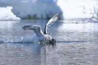 氷の海のカワアイサ(4) - 彩の国 夢見人のフォト日記