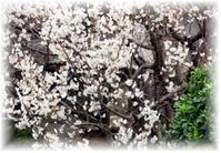 ☆ 蕗と蕗の塔 - ニットルームpiko