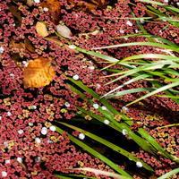 赤い浮き草 - tokoのblog