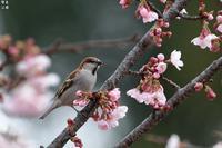 安行寒桜ニュウナイスズメ - 野鳥公園