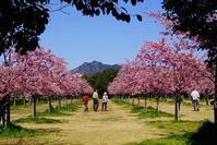 河津桜が咲いて - kogomiの気ままな一コマ