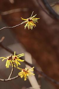 早春の花…マンサク、蕗の薹、クロッカス - 上州自然散策2