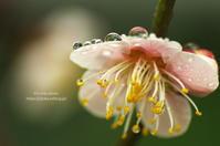 雨の日の -梅- - It's only photo