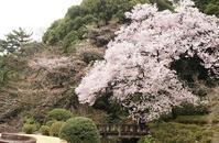 新宿御苑の桜 - オートクチュールの旅日記