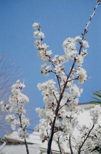 桜 早咲き - のっとこ