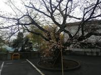ちょっと寄り道・サクラサク - 神奈川徒歩々旅