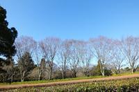 冬晴れの空に映えるオオカンザクラなど (3/17) - ぶらり散歩 ~四季折々フォト日記~