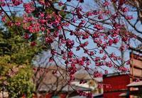 車折神社の寒緋桜 - たんぶーらんの戯言