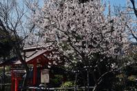 車折神社・清少納言社傍らに咲く桜 - たんぶーらんの戯言