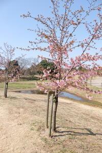 早く投稿しなければ、河津桜 - 平凡な日々の中で