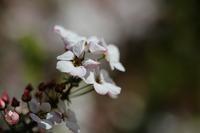 小粒なお花のユキヤナギ - とり頭ばーばんの七転び八起き