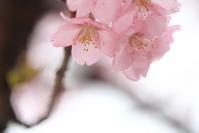河津桜 - モノクロポートレート写真館