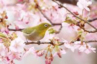 河津桜&メジロ - くろせの鳥