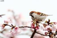 大寒桜の中のニュウナイスズメ - michikoの部屋