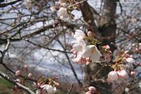 桜が開花しました♪ - 虫籠物語